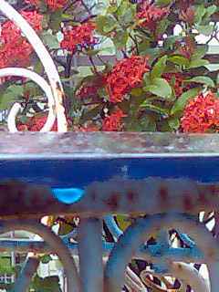 drops of blue against ixora