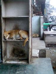 Meerut Dogs